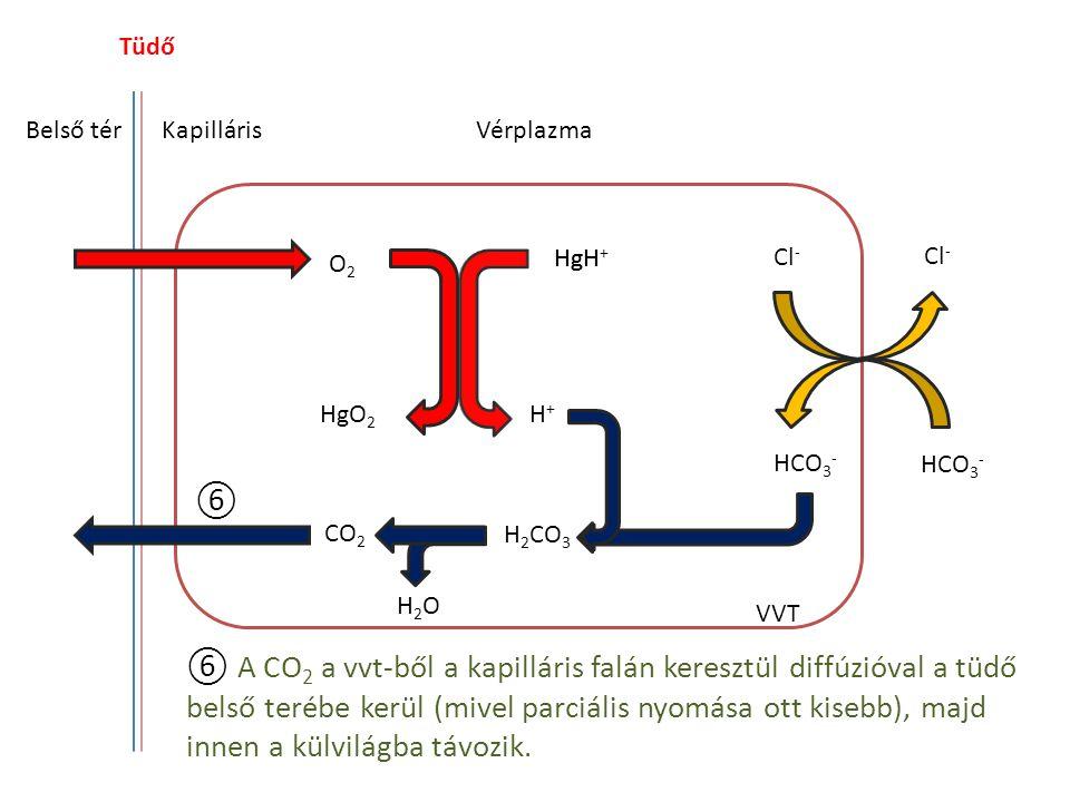 Tüdő Belső térKapilláris HgH O2O2 HgO 2 H+H+ Cl - HCO 3 - CO 2 H 2 CO 3 H2OH2O Vérplazma VVT ⑥ A CO 2 a vvt-ből a kapilláris falán keresztül diffúzióv