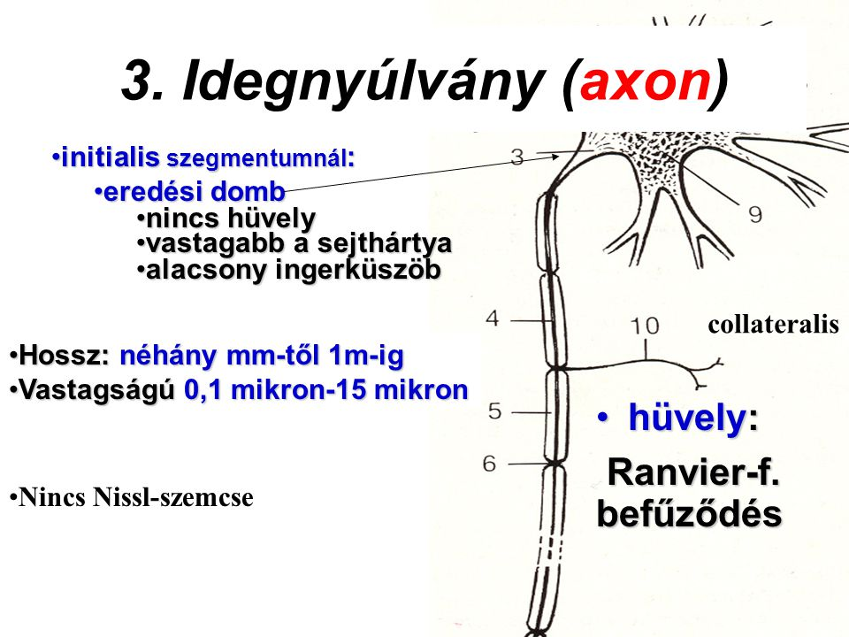 initialis szegmentumnál :initialis szegmentumnál : eredési domberedési domb nincs hüvelynincs hüvely vastagabb a sejthártyavastagabb a sejthártya alac