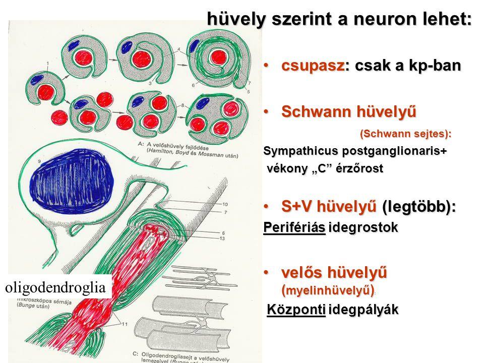 """csupasz: csak a kp-bancsupasz: csak a kp-ban Schwann hüvelyűSchwann hüvelyű (Schwann sejtes): Sympathicus postganglionaris+ vékony """"C"""" érzőrost vékony"""