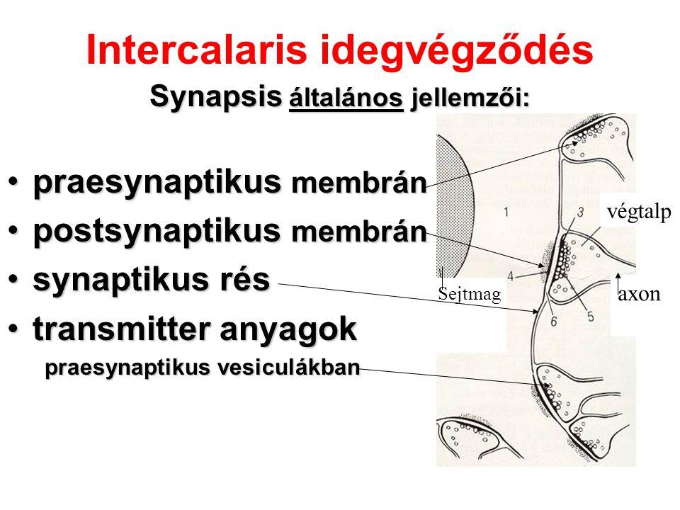 Intercalaris idegvégződés Synapsis általános jellemzői: praesynaptikus membránpraesynaptikus membrán postsynaptikus membránpostsynaptikus membrán syna