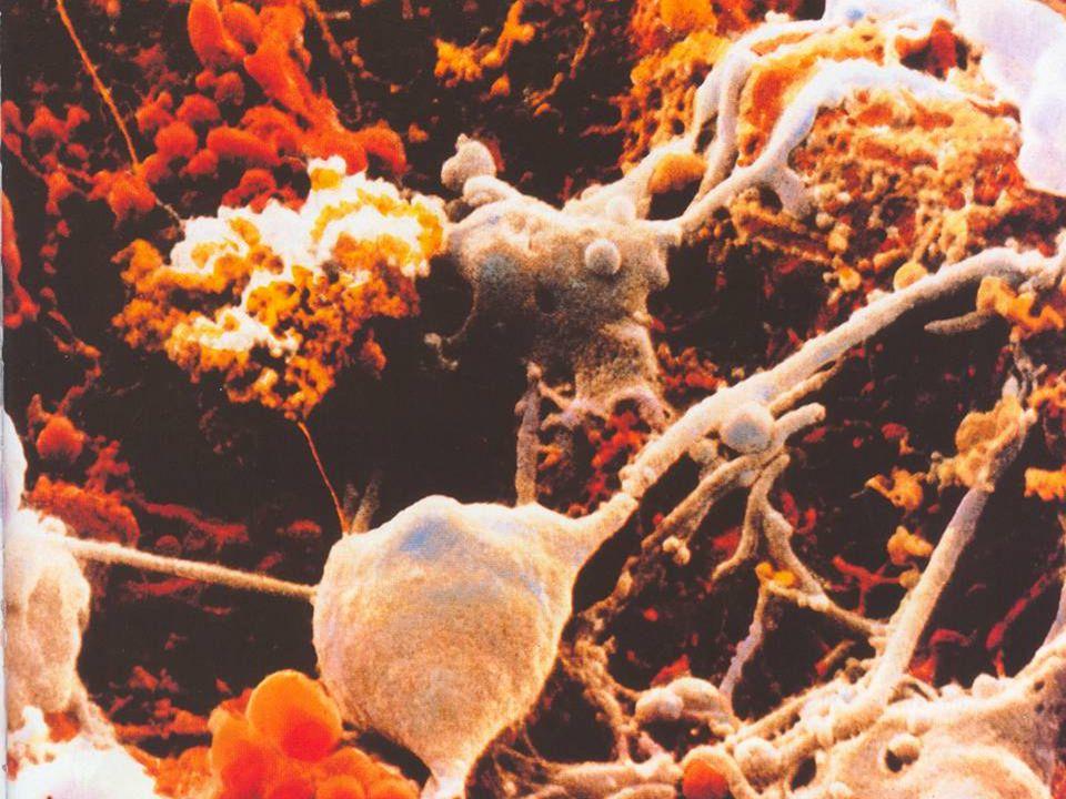 AZ IDEGRENDSZER FELOSZTÁSA ANATÓMIAILAG Köztiagy, törzsdúcok Kisagy Gerincvelő Központi Perifériás Agyvelő Agytörzs 12 pár agyideg 31 pár gerincvelői ideg Szürkeállomány (idegtest/szinapszis) Fehérállomány (tractus/nervus) Idegrendszer