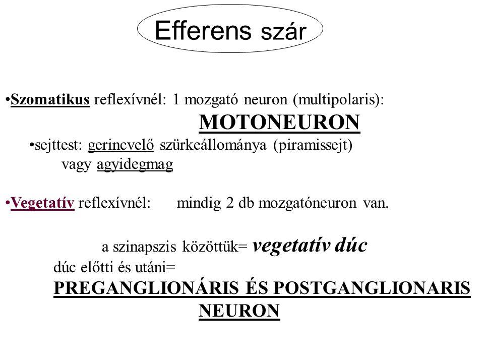 Efferens szár Szomatikus reflexívnél: 1 mozgató neuron (multipolaris): MOTONEURON sejttest: gerincvelő szürkeállománya (piramissejt) vagy agyidegmag V