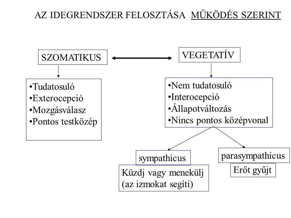 AZ IDEGRENDSZER FELOSZTÁSA MŰKÖDÉS SZERINT SZOMATIKUS VEGETATÍV Tudatosuló Exterocepció Mozgásválasz Pontos testközép Nem tudatosuló Interocepció Álla