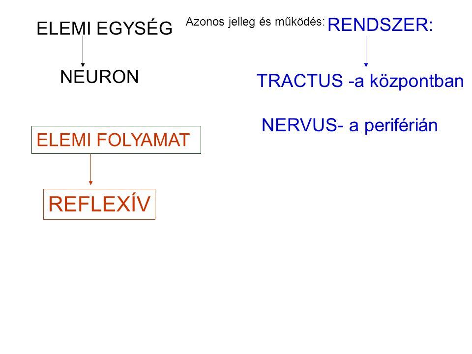 NEURON ELEMI FOLYAMAT RENDSZER: Azonos jelleg és működés: TRACTUS -a központban NERVUS- a periférián REFLEXÍV ELEMI EGYSÉG