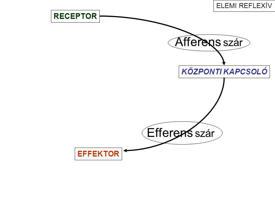 ideg más szövet ideg ideg más szövet ideg –receptor synapsis –effektor ideg Idegvégződés terminalis (szabad) intercalaris