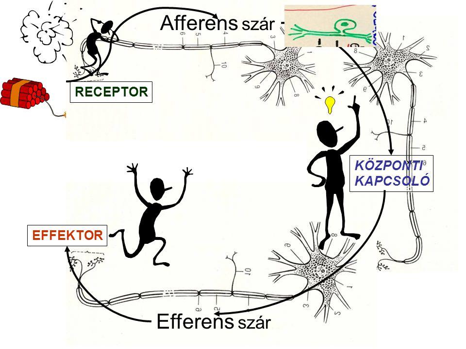 Intercalaris idegvégződés Synapsis általános jellemzői: praesynaptikus membránpraesynaptikus membrán postsynaptikus membránpostsynaptikus membrán synaptikus réssynaptikus rés transmitter anyagoktransmitter anyagok praesynaptikus vesiculákban praesynaptikus vesiculákban Sejtmag végtalp axon