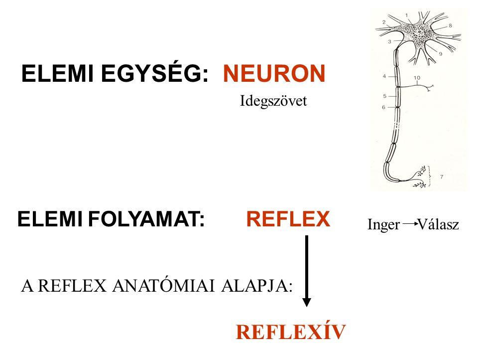 NEURON ELEMI FOLYAMAT RENDSZER a központban : Azonos jellegű és működésű neuronok összessége: TRACTUS afferens szár: ÉRZŐ PÁLYÁK központi kapcsoló-nagyagy: ÖSSZEKÖTŐ AGYPÁLYÁK LIMBICUS RENDSZER-ösztön MONOAMINERG-hangulat efferens szár: MOZGATÓ PÁLYÁK REFLEXÍV ELEMI EGYSÉG: receptor-afferens szár-központ- efferens szár-effektor