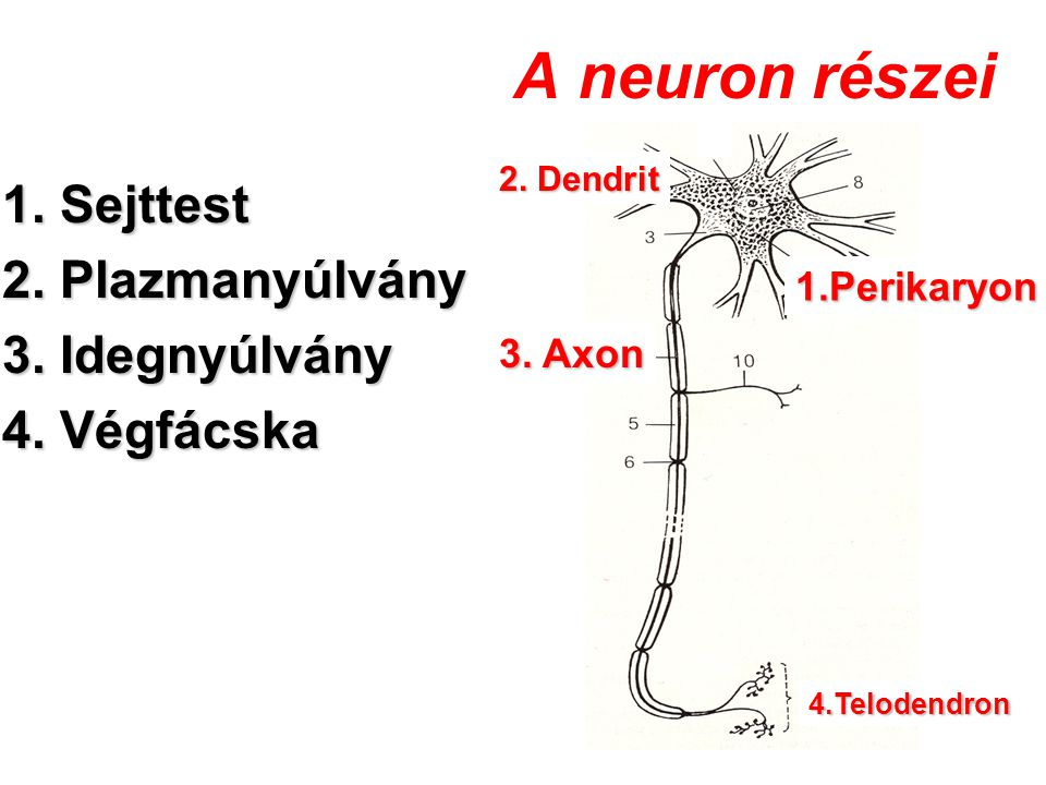 A neuron részei 1. Sejttest 2. Plazmanyúlvány 3. Idegnyúlvány 4. Végfácska 1.Perikaryon 2. Dendrit 3. Axon 4.Telodendron