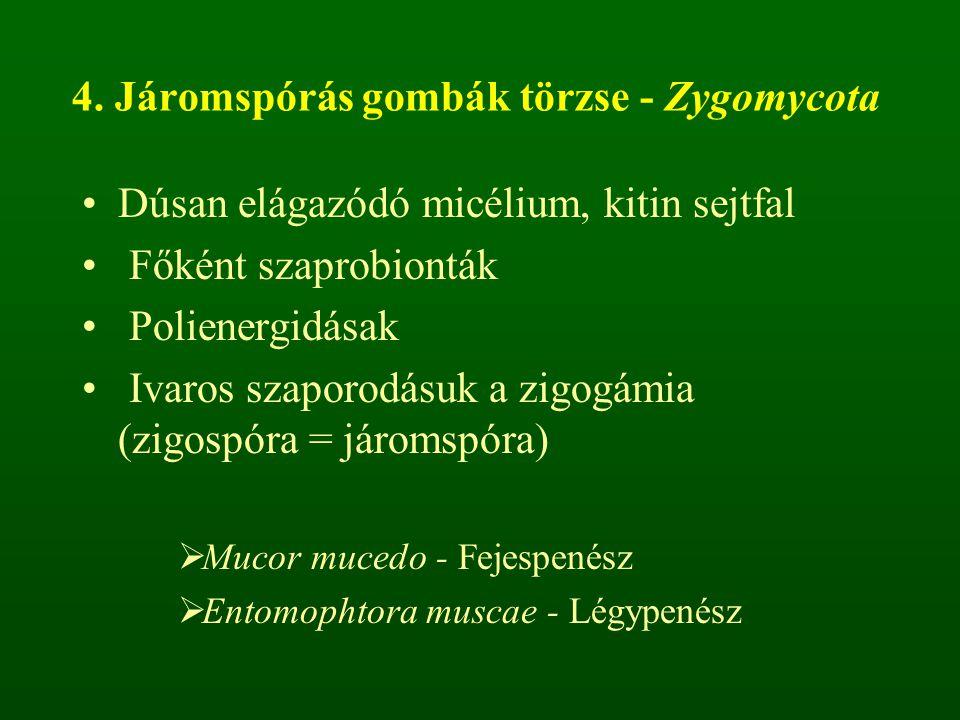 4. Járomspórás gombák törzse - Zygomycota Dúsan elágazódó micélium, kitin sejtfal Főként szaprobionták Polienergidásak Ivaros szaporodásuk a zigogámia