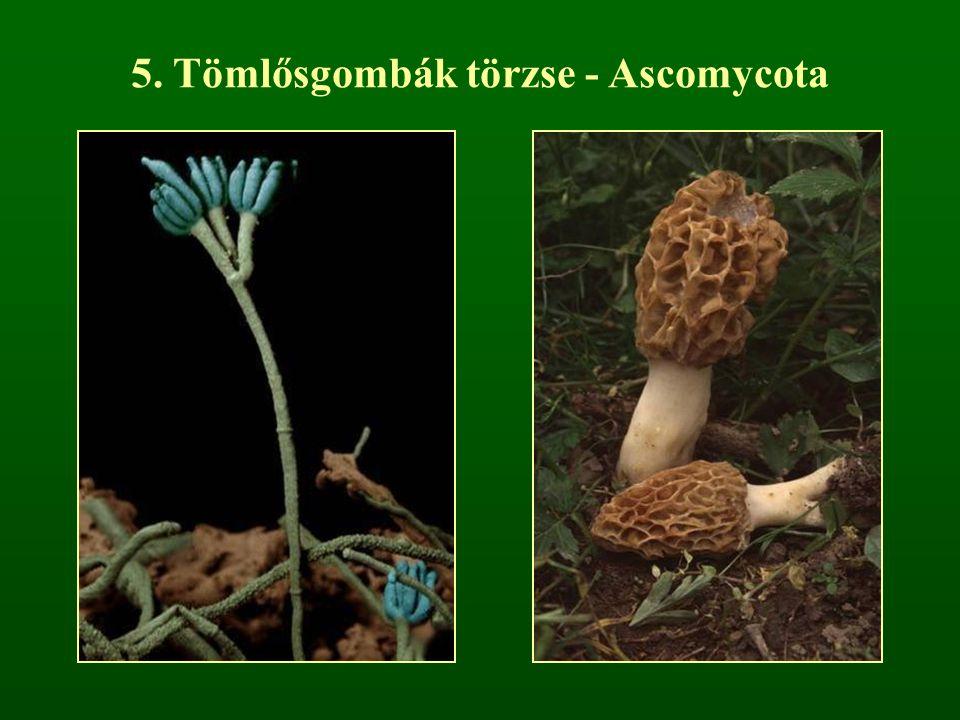 5. Tömlősgombák törzse - Ascomycota