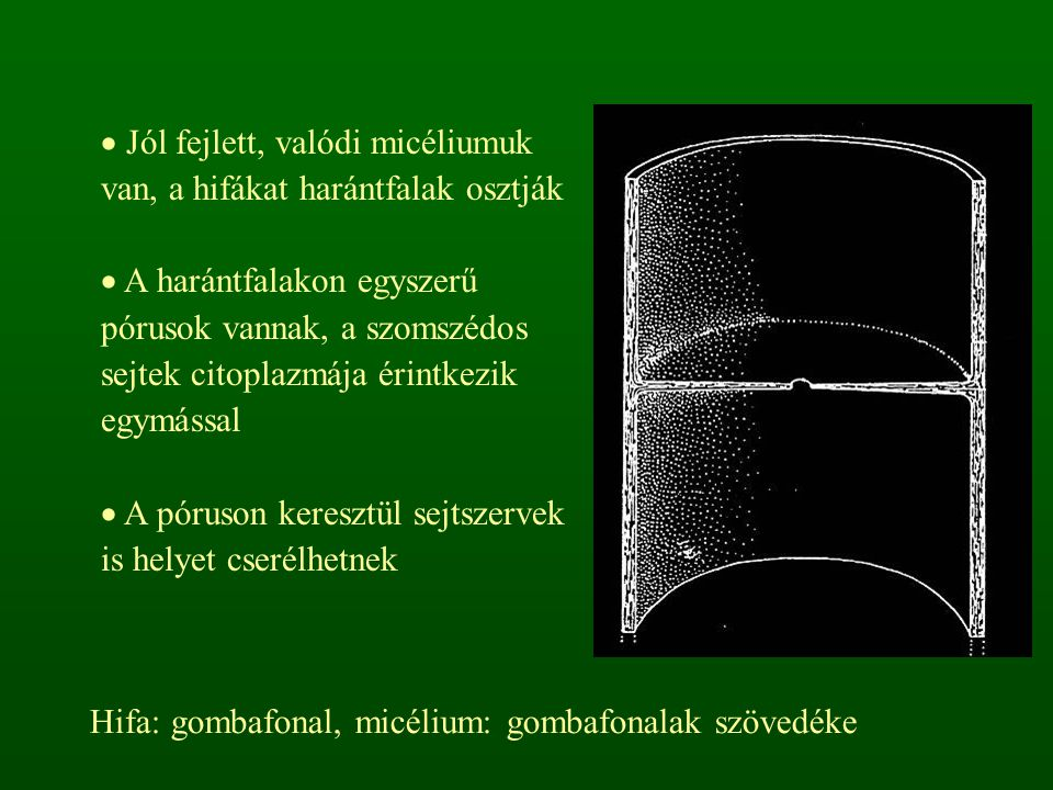  Jól fejlett, valódi micéliumuk van, a hifákat harántfalak osztják  A harántfalakon egyszerű pórusok vannak, a szomszédos sejtek citoplazmája érintkezik egymással  A póruson keresztül sejtszervek is helyet cserélhetnek Hifa: gombafonal, micélium: gombafonalak szövedéke