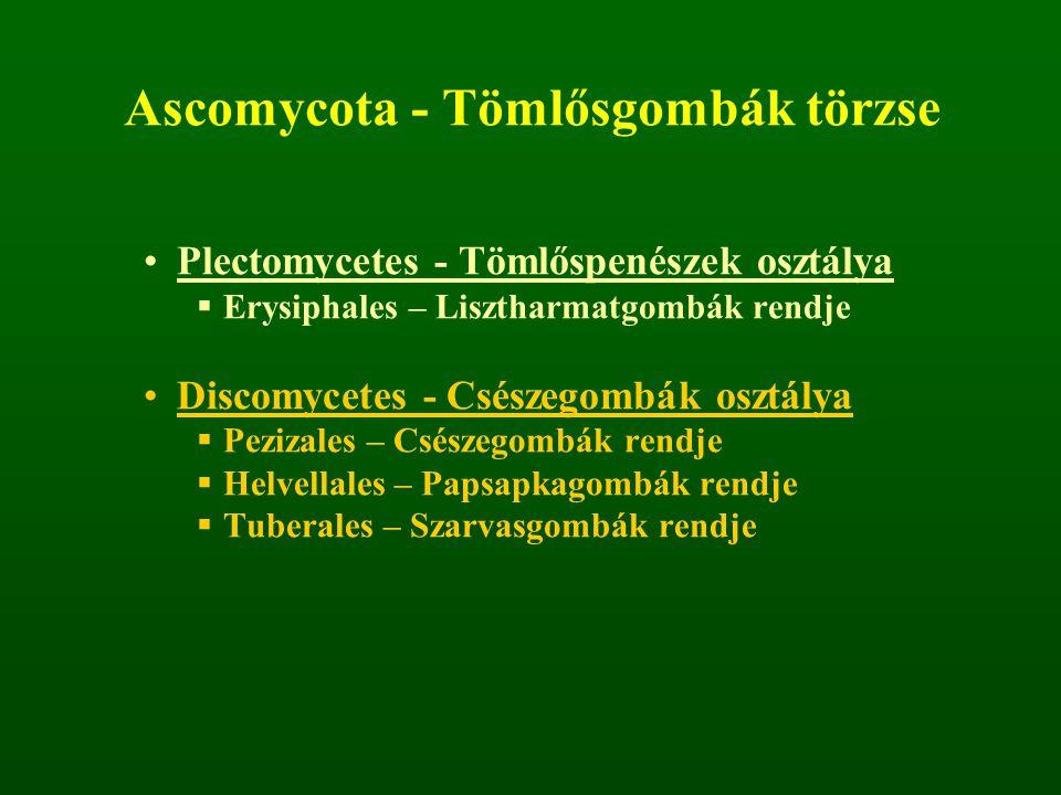 Ascomycota - Tömlősgombák törzse Plectomycetes - Tömlőspenészek osztálya  Erysiphales – Lisztharmatgombák rendje Discomycetes - Csészegombák osztálya  Pezizales – Csészegombák rendje  Helvellales – Papsapkagombák rendje  Tuberales – Szarvasgombák rendje