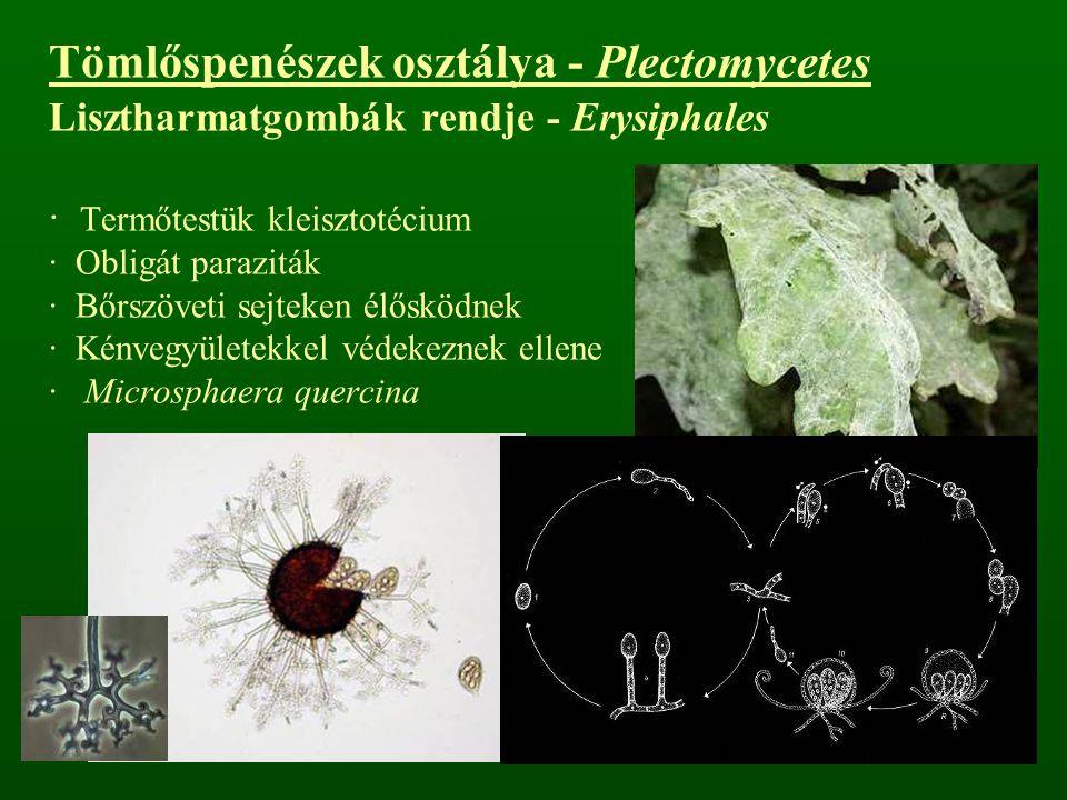 Tömlőspenészek osztálya - Plectomycetes Lisztharmatgombák rendje - Erysiphales · Termőtestük kleisztotécium · Obligát paraziták · Bőrszöveti sejteken
