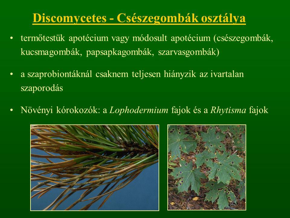 Discomycetes - Csészegombák osztálya termőtestük apotécium vagy módosult apotécium (csészegombák, kucsmagombák, papsapkagombák, szarvasgombák) a szaprobiontáknál csaknem teljesen hiányzik az ivartalan szaporodás Növényi kórokozók: a Lophodermium fajok és a Rhytisma fajok