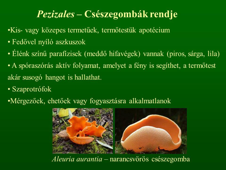 Aleuria aurantia – narancsvörös csészegomba Pezizales – Csészegombák rendje Kis- vagy közepes termetűek, termőtestük apotécium Fedővel nyíló aszkuszok Élénk színű parafízisek (meddő hifavégek) vannak (piros, sárga, lila) A spóraszórás aktív folyamat, amelyet a fény is segíthet, a termőtest akár susogó hangot is hallathat.