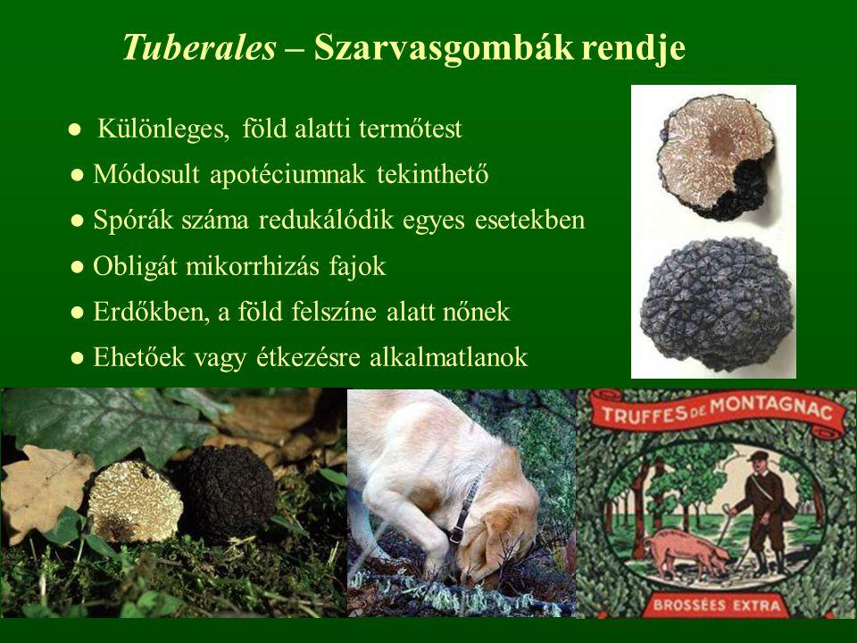 ● Különleges, föld alatti termőtest ● Módosult apotéciumnak tekinthető ● Spórák száma redukálódik egyes esetekben ● Obligát mikorrhizás fajok ● Erdőkb