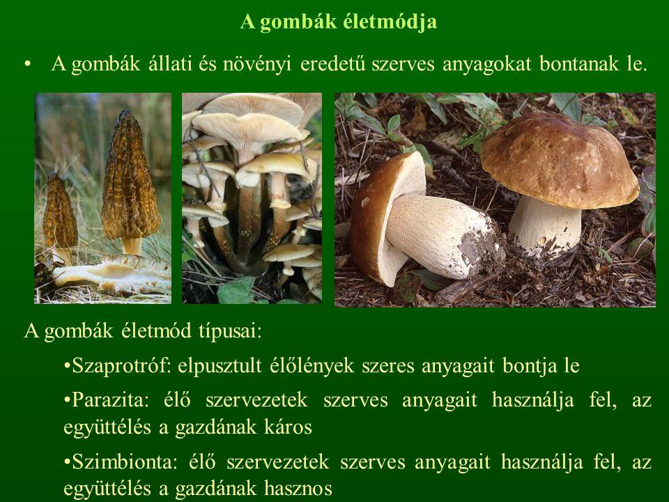 A gombák életmódja A gombák állati és növényi eredetű szerves anyagokat bontanak le. A gombák életmód típusai: Szaprotróf: elpusztult élőlények szeres