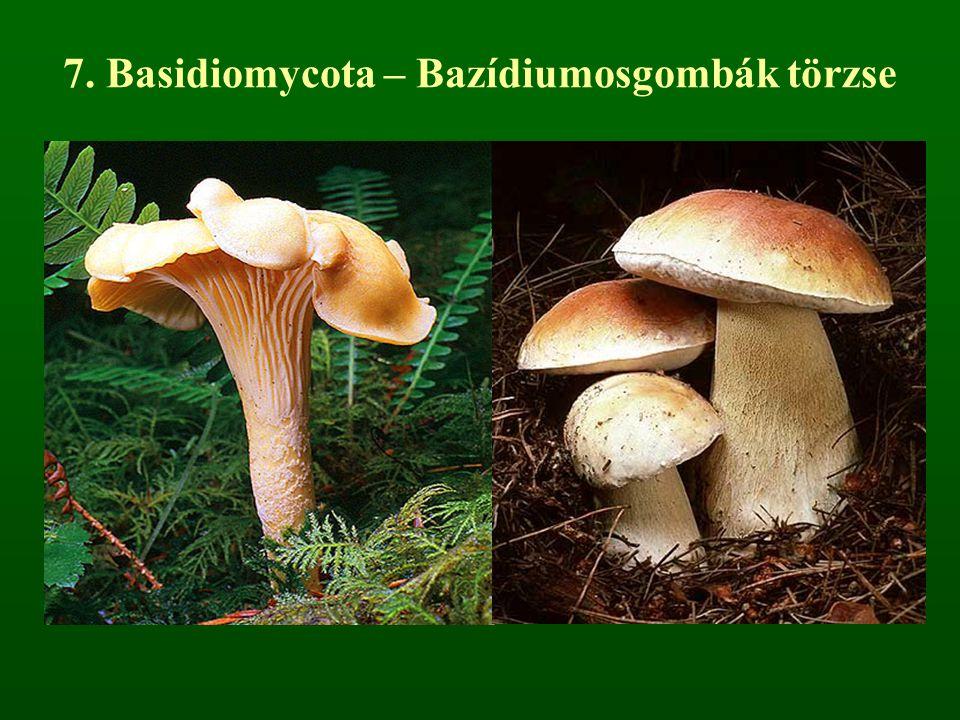 7. Basidiomycota – Bazídiumosgombák törzse