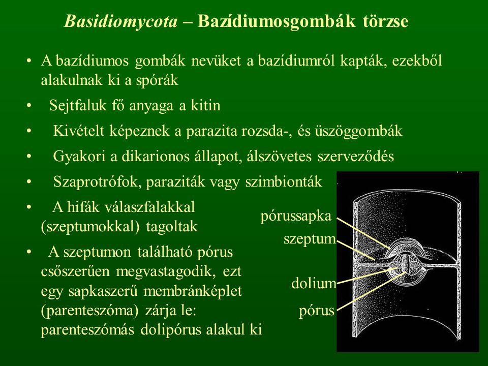 Basidiomycota – Bazídiumosgombák törzse A bazídiumos gombák nevüket a bazídiumról kapták, ezekből alakulnak ki a spórák Sejtfaluk fő anyaga a kitin Kivételt képeznek a parazita rozsda-, és üszöggombák Gyakori a dikarionos állapot, álszövetes szerveződés Szaprotrófok, paraziták vagy szimbionták A hifák válaszfalakkal (szeptumokkal) tagoltak A szeptumon található pórus csőszerűen megvastagodik, ezt egy sapkaszerű membránképlet (parenteszóma) zárja le: parenteszómás dolipórus alakul ki szeptum pórussapka dolium pórus