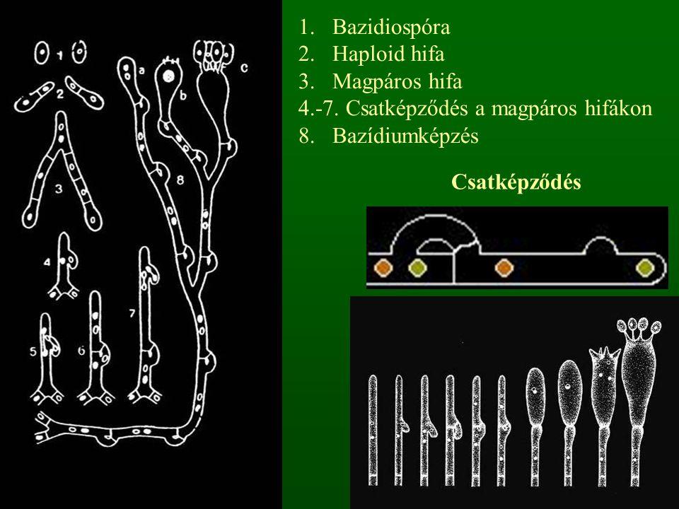 1.Bazidiospóra 2.Haploid hifa 3.Magpáros hifa 4.-7. Csatképződés a magpáros hifákon 8. Bazídiumképzés Csatképződés