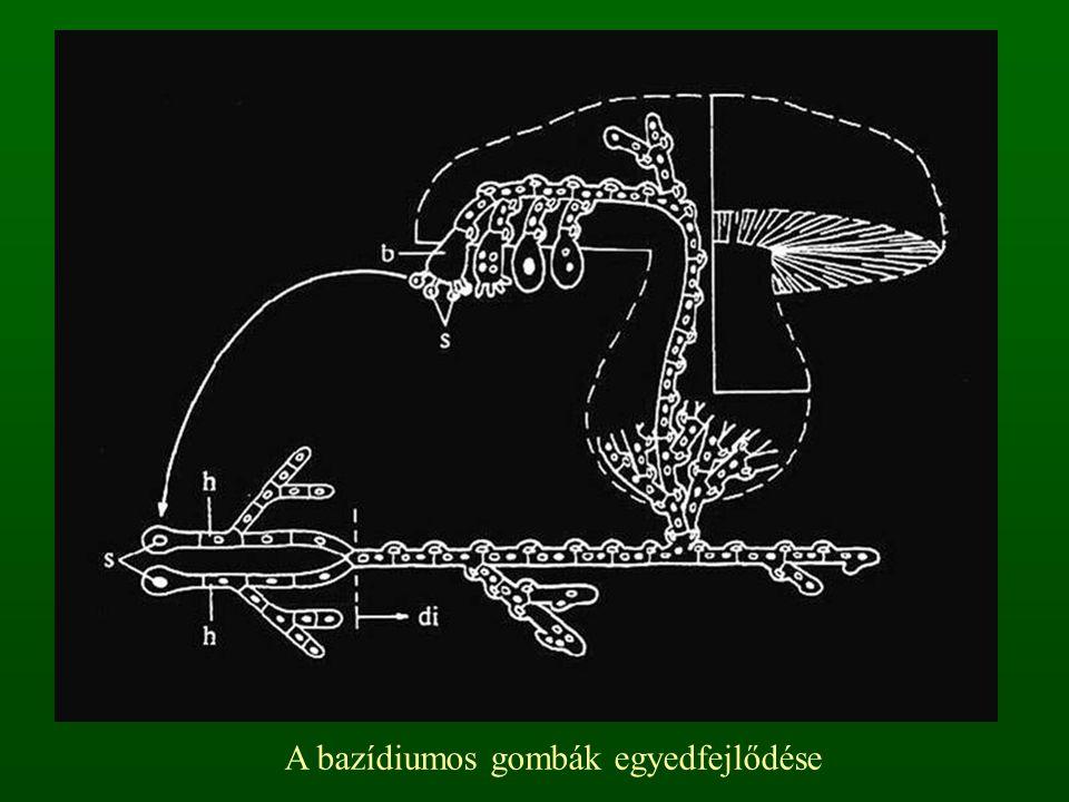 A bazídiumos gombák egyedfejlődése