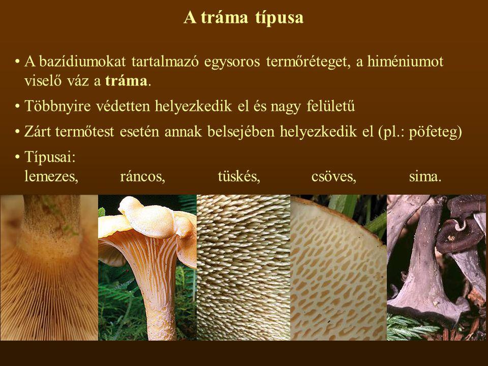 A tráma típusa A bazídiumokat tartalmazó egysoros termőréteget, a himéniumot viselő váz a tráma. Többnyire védetten helyezkedik el és nagy felületű Zá