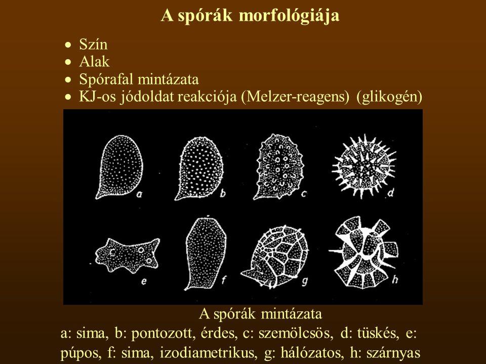 A spórák morfológiája  Szín  Alak  Spórafal mintázata  KJ-os jódoldat reakciója (Melzer-reagens) (glikogén) A spórák mintázata a: sima, b: pontozott, érdes, c: szemölcsös, d: tüskés, e: púpos, f: sima, izodiametrikus, g: hálózatos, h: szárnyas
