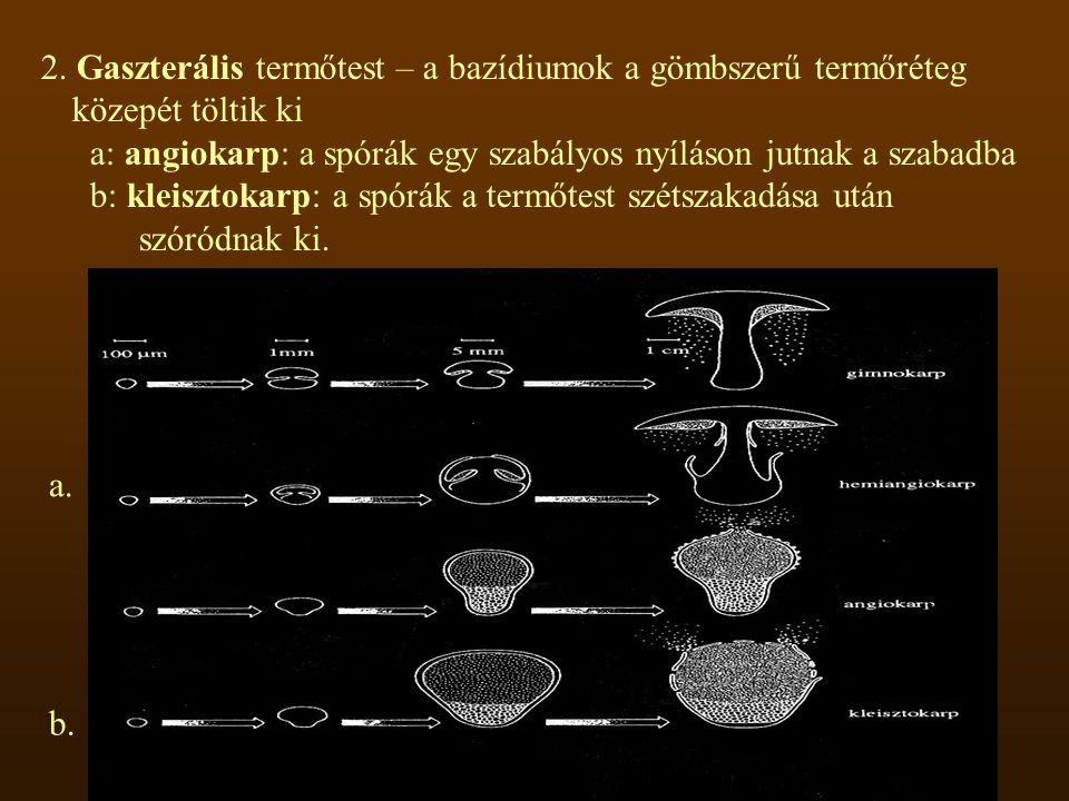 2. Gaszterális termőtest – a bazídiumok a gömbszerű termőréteg közepét töltik ki a: angiokarp: a spórák egy szabályos nyíláson jutnak a szabadba b: kl