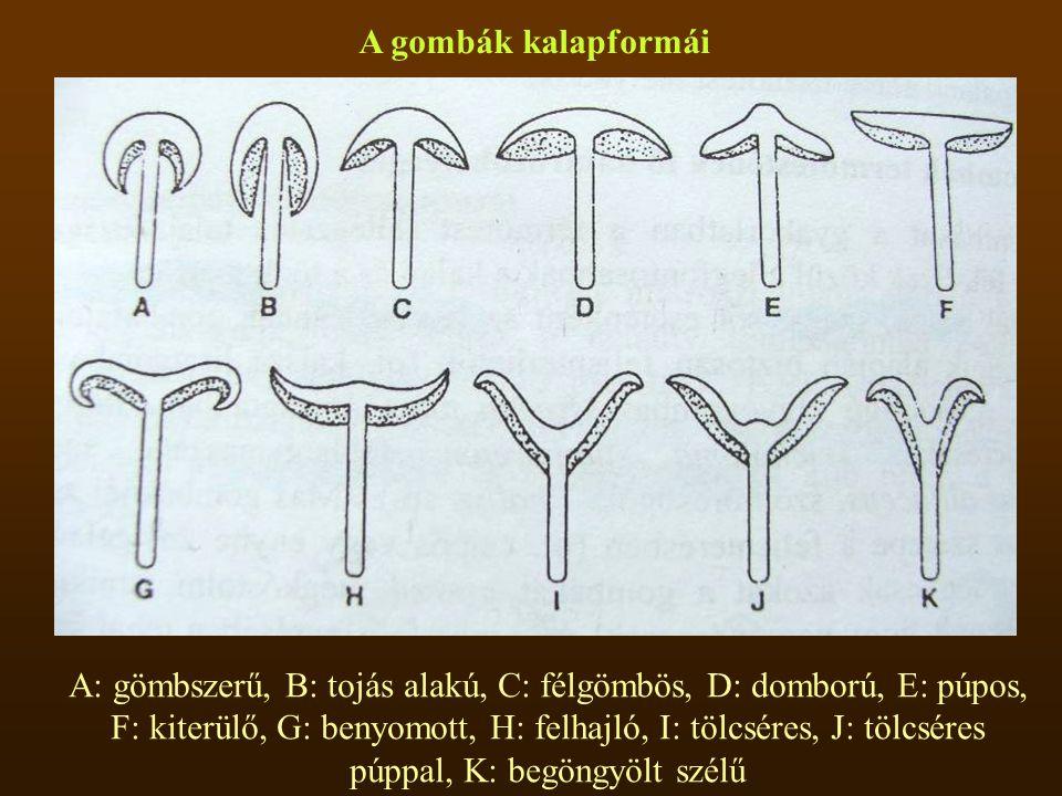 A gombák kalapformái A: gömbszerű, B: tojás alakú, C: félgömbös, D: domború, E: púpos, F: kiterülő, G: benyomott, H: felhajló, I: tölcséres, J: tölcséres púppal, K: begöngyölt szélű