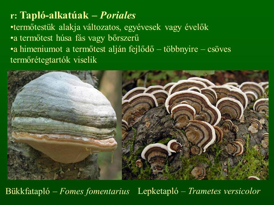 Lepketapló – Trametes versicolor r: Tapló-alkatúak – Poriales termőtestük alakja változatos, egyévesek vagy évelők a termőtest húsa fás vagy bőrszerű