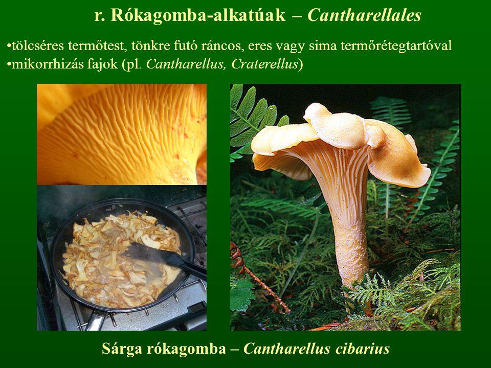 Sárga rókagomba – Cantharellus cibarius r. Rókagomba-alkatúak – Cantharellales tölcséres termőtest, tönkre futó ráncos, eres vagy sima termőrétegtartó