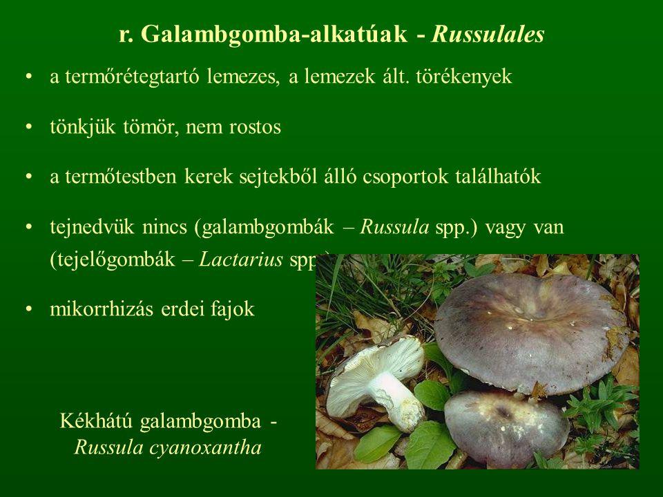 r. Galambgomba-alkatúak - Russulales a termőrétegtartó lemezes, a lemezek ált. törékenyek tönkjük tömör, nem rostos a termőtestben kerek sejtekből áll