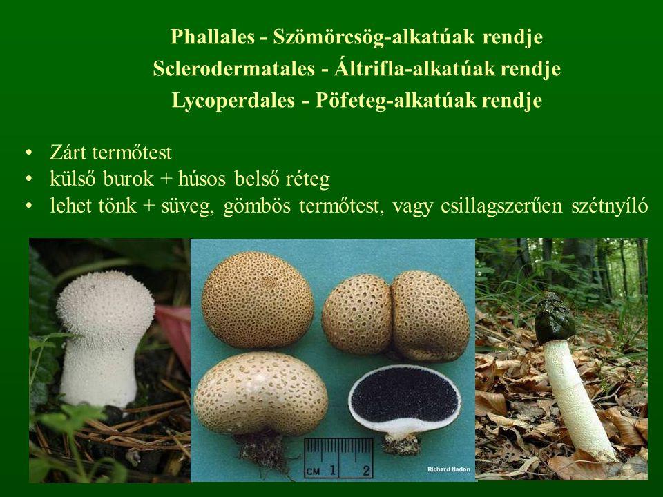 Zárt termőtest külső burok + húsos belső réteg lehet tönk + süveg, gömbös termőtest, vagy csillagszerűen szétnyíló Phallales - Szömörcsög-alkatúak rendje Sclerodermatales - Áltrifla-alkatúak rendje Lycoperdales - Pöfeteg-alkatúak rendje