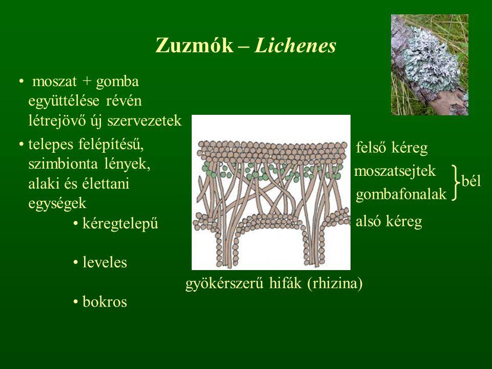 Zuzmók – Lichenes kéregtelepű leveles bokros moszat + gomba együttélése révén létrejövő új szervezetek telepes felépítésű, szimbionta lények, alaki és