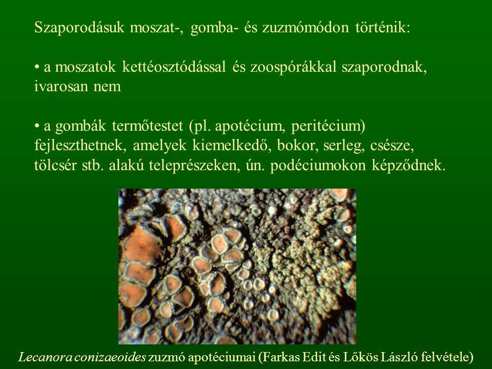 Szaporodásuk moszat-, gomba- és zuzmómódon történik: a moszatok kettéosztódással és zoospórákkal szaporodnak, ivarosan nem a gombák termőtestet (pl. a
