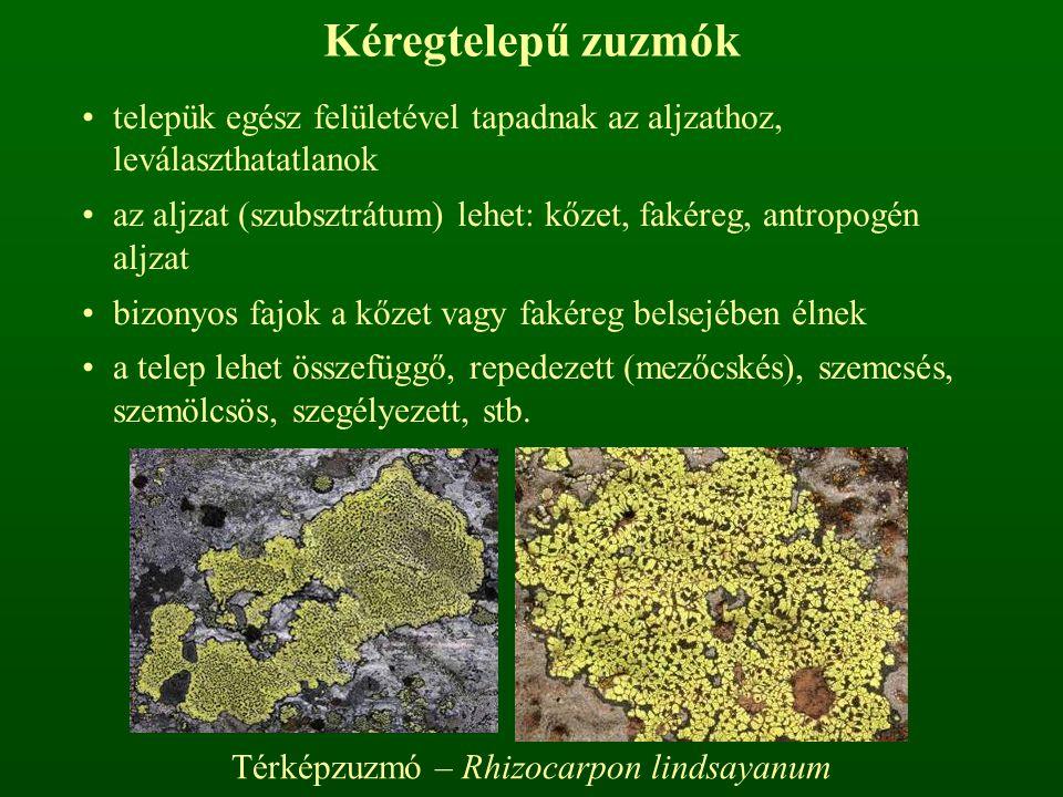 Kéregtelepű zuzmók telepük egész felületével tapadnak az aljzathoz, leválaszthatatlanok az aljzat (szubsztrátum) lehet: kőzet, fakéreg, antropogén aljzat bizonyos fajok a kőzet vagy fakéreg belsejében élnek a telep lehet összefüggő, repedezett (mezőcskés), szemcsés, szemölcsös, szegélyezett, stb.