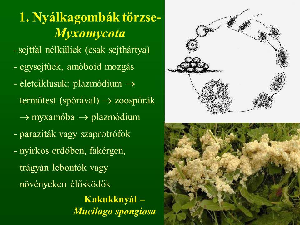 - sejtfal nélküliek (csak sejthártya) - egysejtűek, amőboid mozgás -életciklusuk: plazmódium  termőtest (spórával)  zoospórák  myxamőba  plazmódium -paraziták vagy szaprotrófok -nyirkos erdőben, fakérgen, trágyán lebontók vagy növényeken élősködők 1.