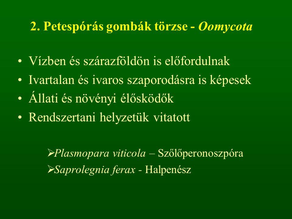 2. Petespórás gombák törzse - Oomycota Vízben és szárazföldön is előfordulnak Ivartalan és ivaros szaporodásra is képesek Állati és növényi élősködők