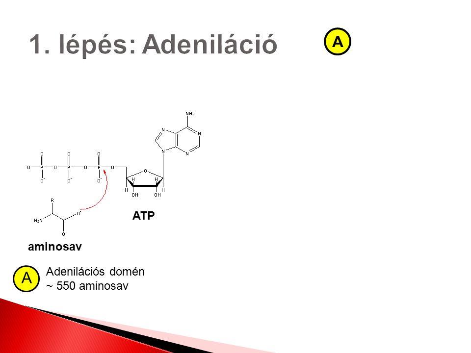 aminosav ATP A Adenilációs domén ~ 550 aminosav A
