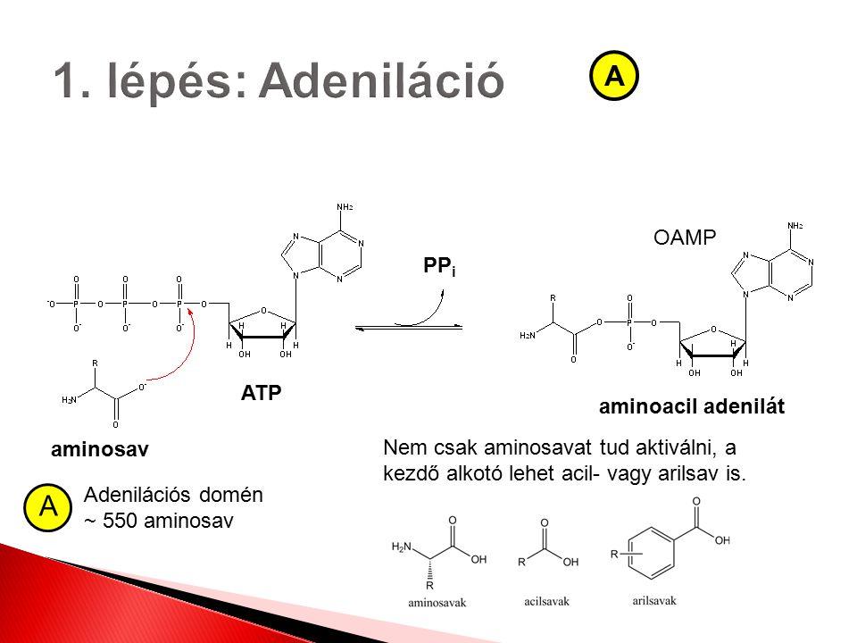aminosav ATP aminoacil adenilát PP i A A Adenilációs domén ~ 550 aminosav OAMP Nem csak aminosavat tud aktiválni, a kezdő alkotó lehet acil- vagy aril