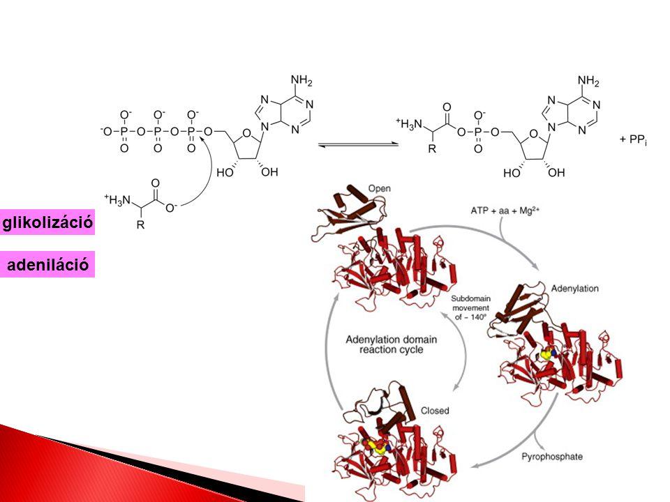 adeniláció glikolizáció