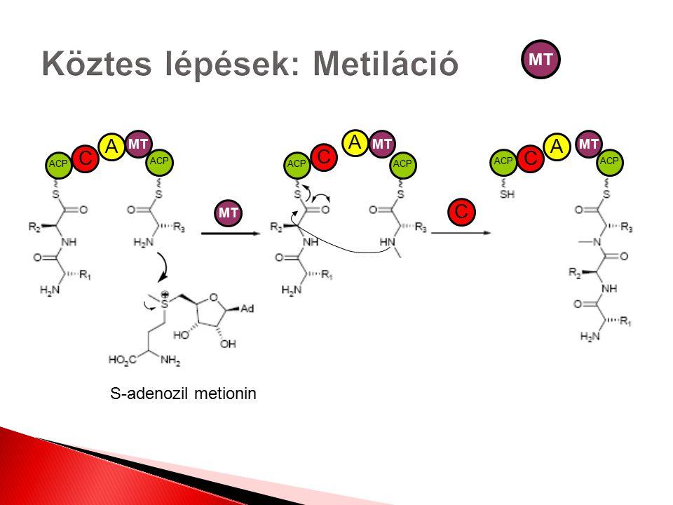 S-adenozil metionin MT ACP A C C C AA MT C
