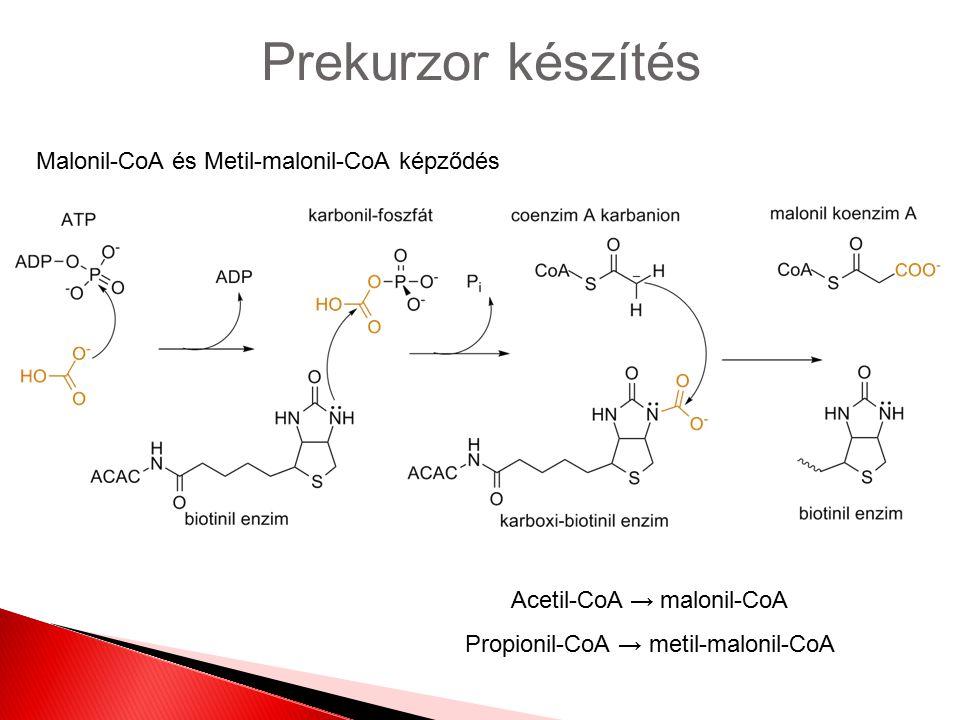 Prekurzor készítés Malonil-CoA és Metil-malonil-CoA képződés Acetil-CoA → malonil-CoA Propionil-CoA → metil-malonil-CoA