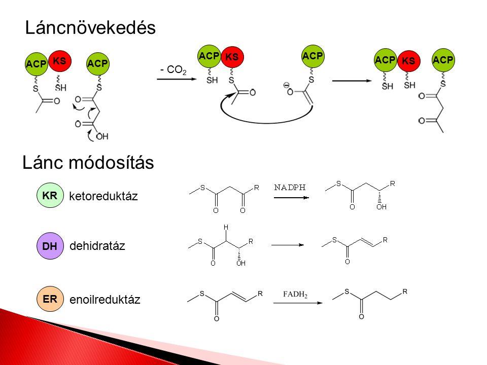 Láncnövekedés Lánc módosítás ketoreduktáz dehidratáz enoilreduktáz - CO 2 ACP KS ACP KS ACP KS ACP KR DH ER