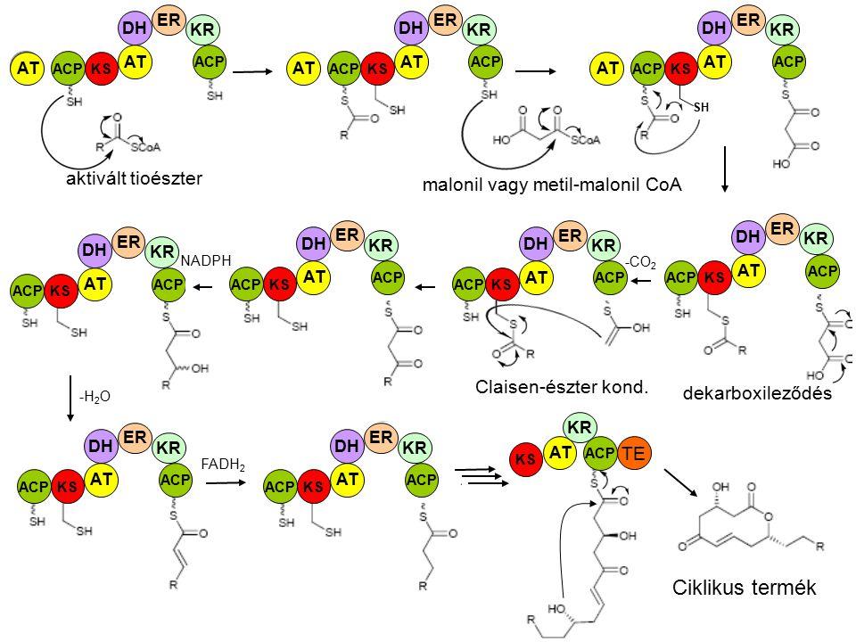 aktivált tioészter malonil vagy metil-malonil CoA dekarboxileződés Claisen-észter kond. Ciklikus termék AT ACP KS AT DH ER KR ACP AT ACP KS AT DH ER K