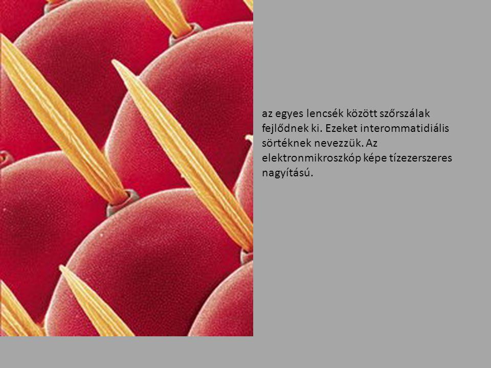 az egyes lencsék között szőrszálak fejlődnek ki. Ezeket interommatidiális sörtéknek nevezzük. Az elektronmikroszkóp képe tízezerszeres nagyítású.