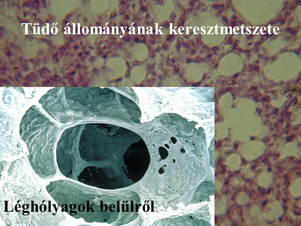 Tüdő állományának keresztmetszete Léghólyagok belülről