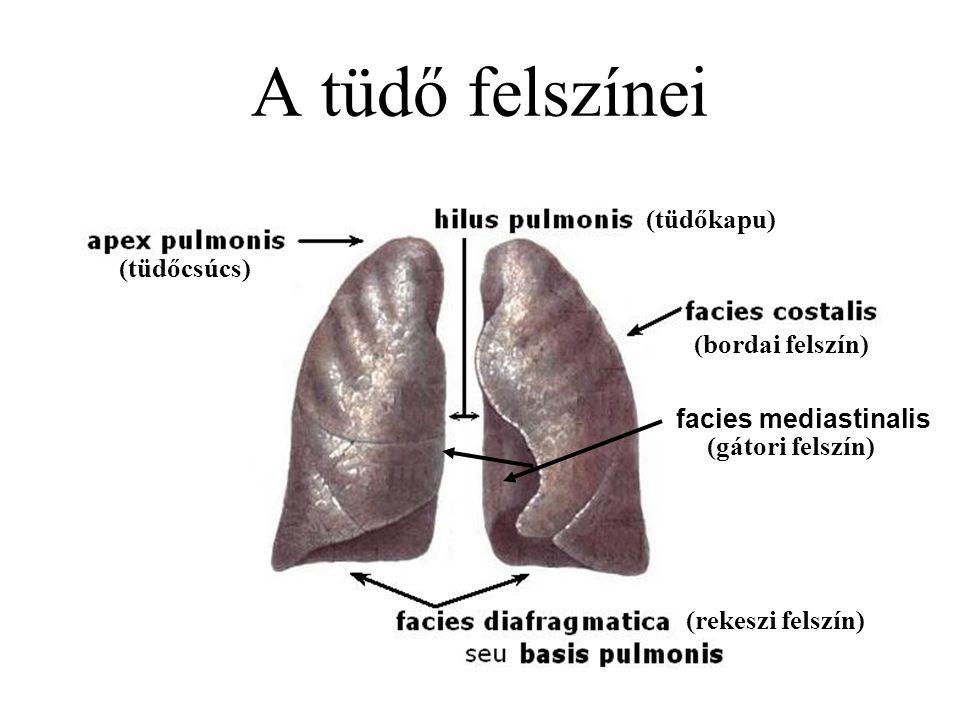 A tüdő felszínei (tüdőkapu) (bordai felszín) (rekeszi felszín) (tüdőcsúcs) facies mediastinalis (gátori felszín)