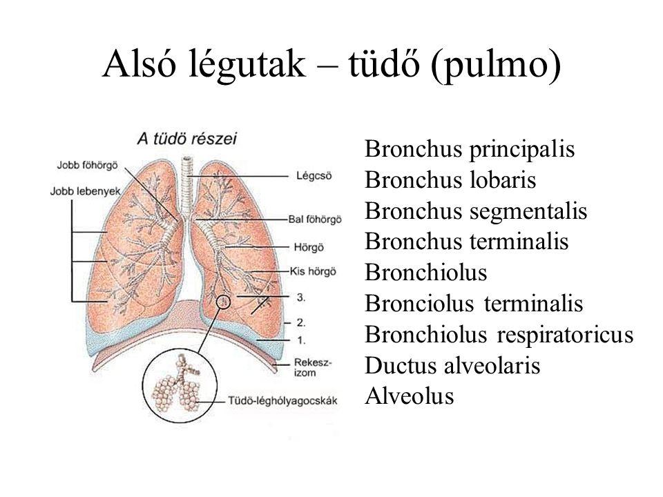 Alsó légutak – tüdő (pulmo) Bronchus principalis Bronchus lobaris Bronchus segmentalis Bronchus terminalis Bronchiolus Bronciolus terminalis Bronchiol