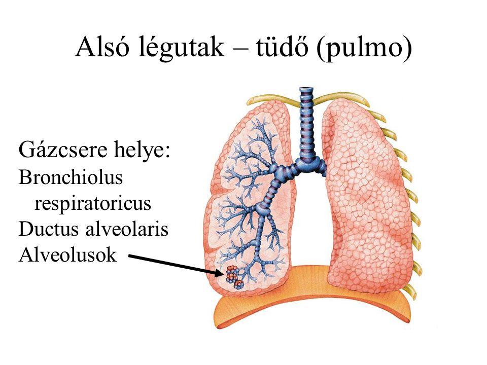 Alsó légutak – tüdő (pulmo) Gázcsere helye: Bronchiolus respiratoricus Ductus alveolaris Alveolusok